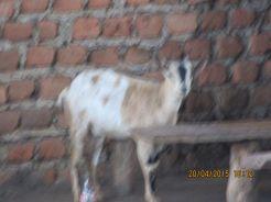 Common local goat.